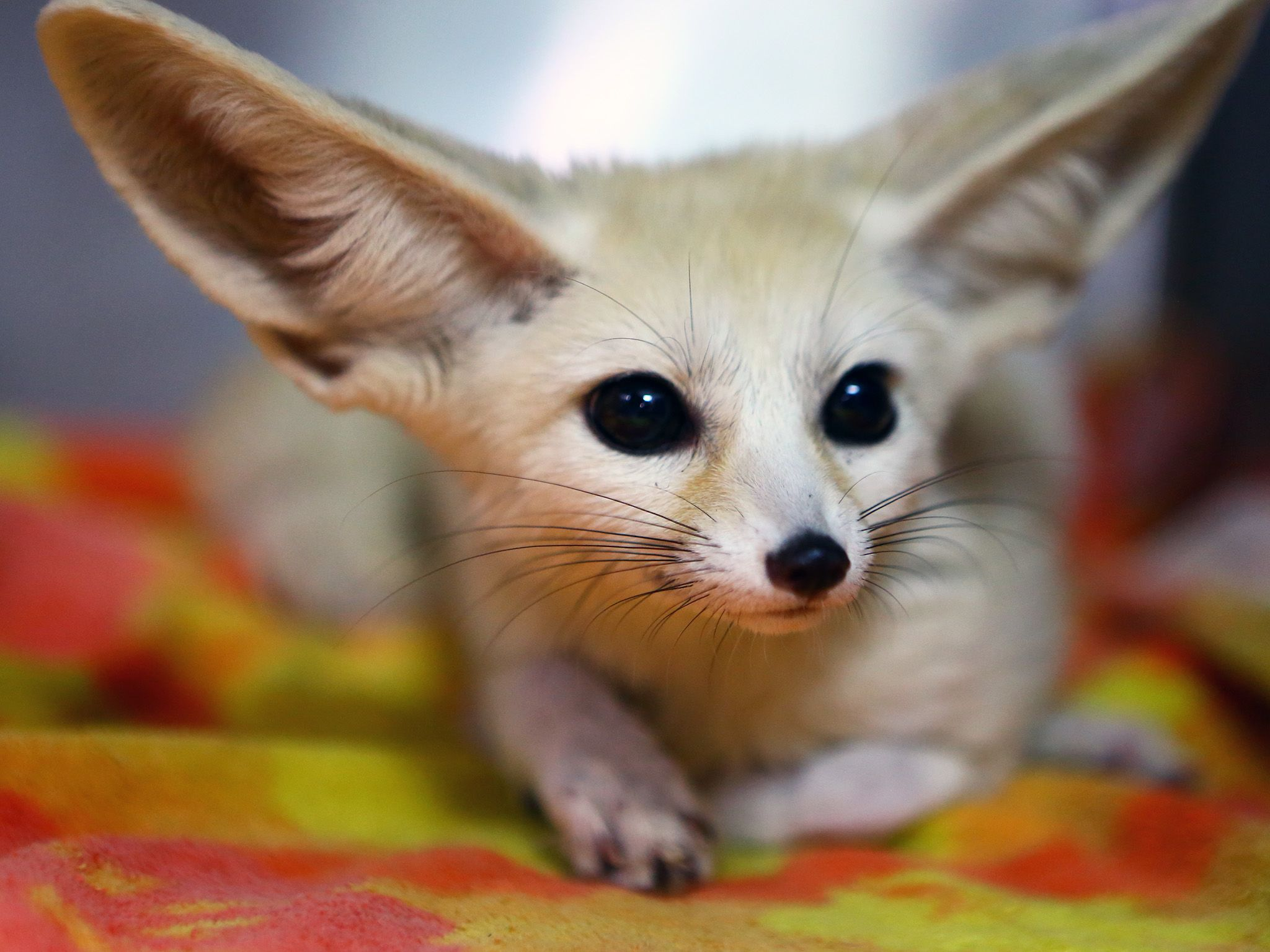 Deerfield Beach, FL:  Xenon the Fennec Fox is waiting to be treated by Dr. Lauren Thielen for... [Photo of the day - سپتامبر 2019]