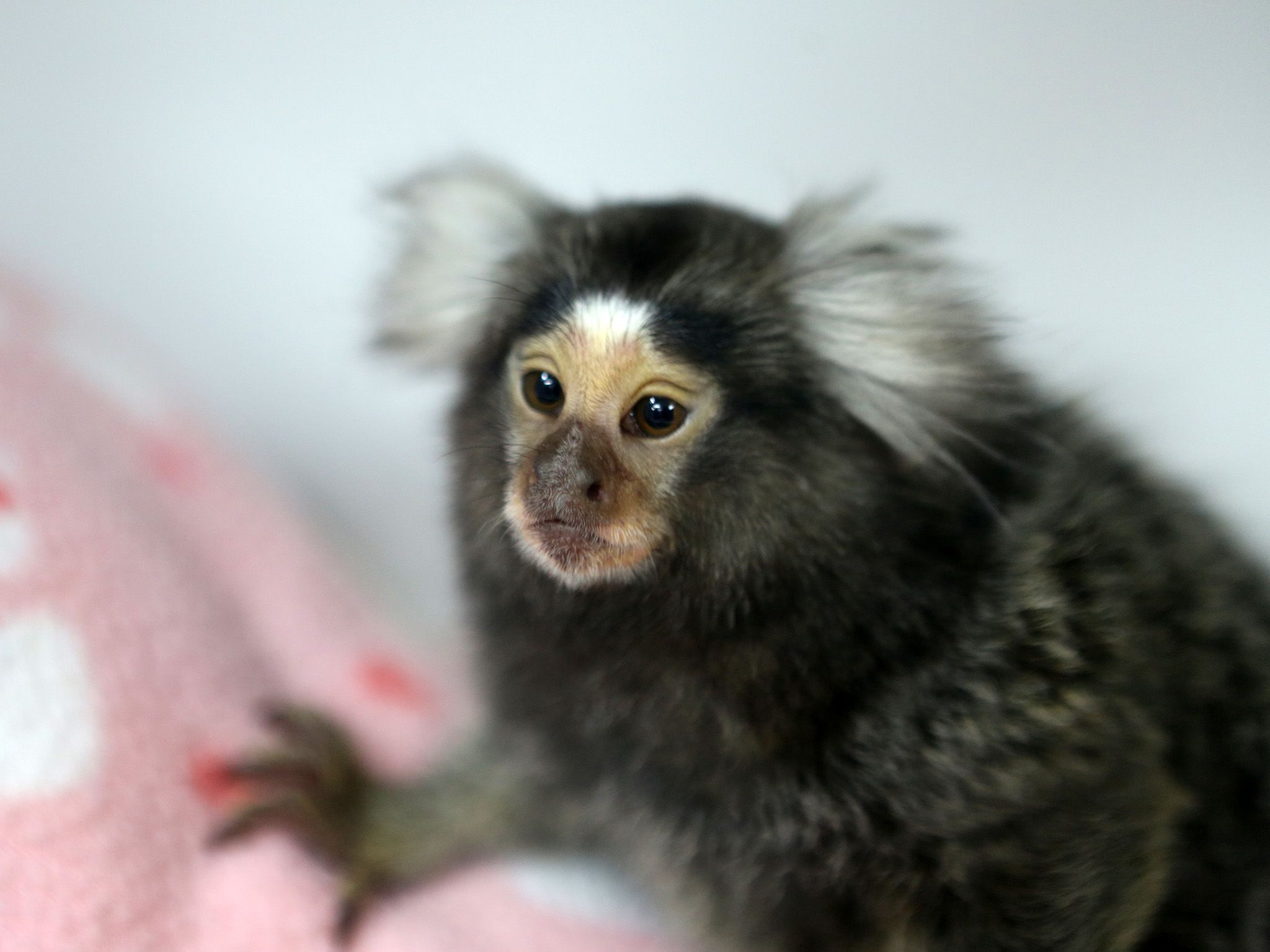 Kehlani the Marmoset waits patiently for Dr. Veronica Pardini to announce Kehlani's gender. This... [Photo of the day - سپتامبر 2019]