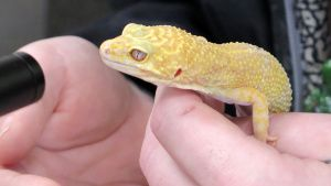 A client holds his Leopard Gecko... [Photo of the day - 18 سپتامبر 2019]