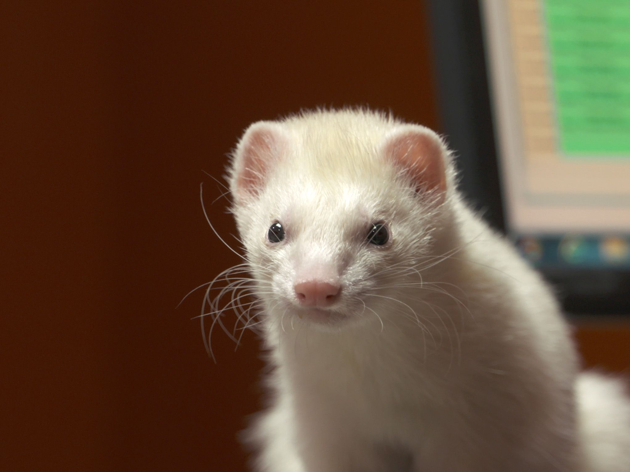 Deerfield Beach, FL:  Close up of Peanut, the one-year-old ferret. This image is from Dr. K's... [Photo of the day - September 2019]