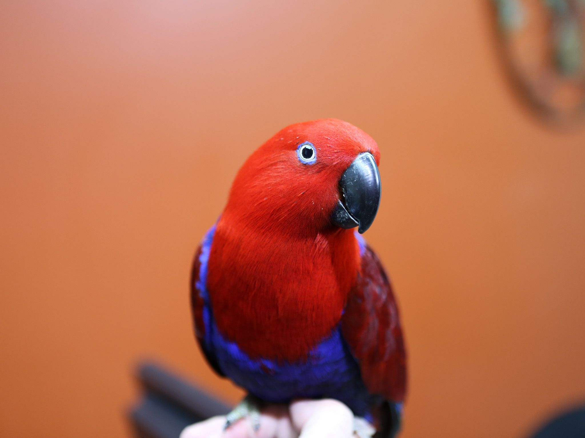 Millie the Eclectus is in to see Dr. Susan Kelleher for her exploratory surgery. This image is... [Photo of the day - September 2019]