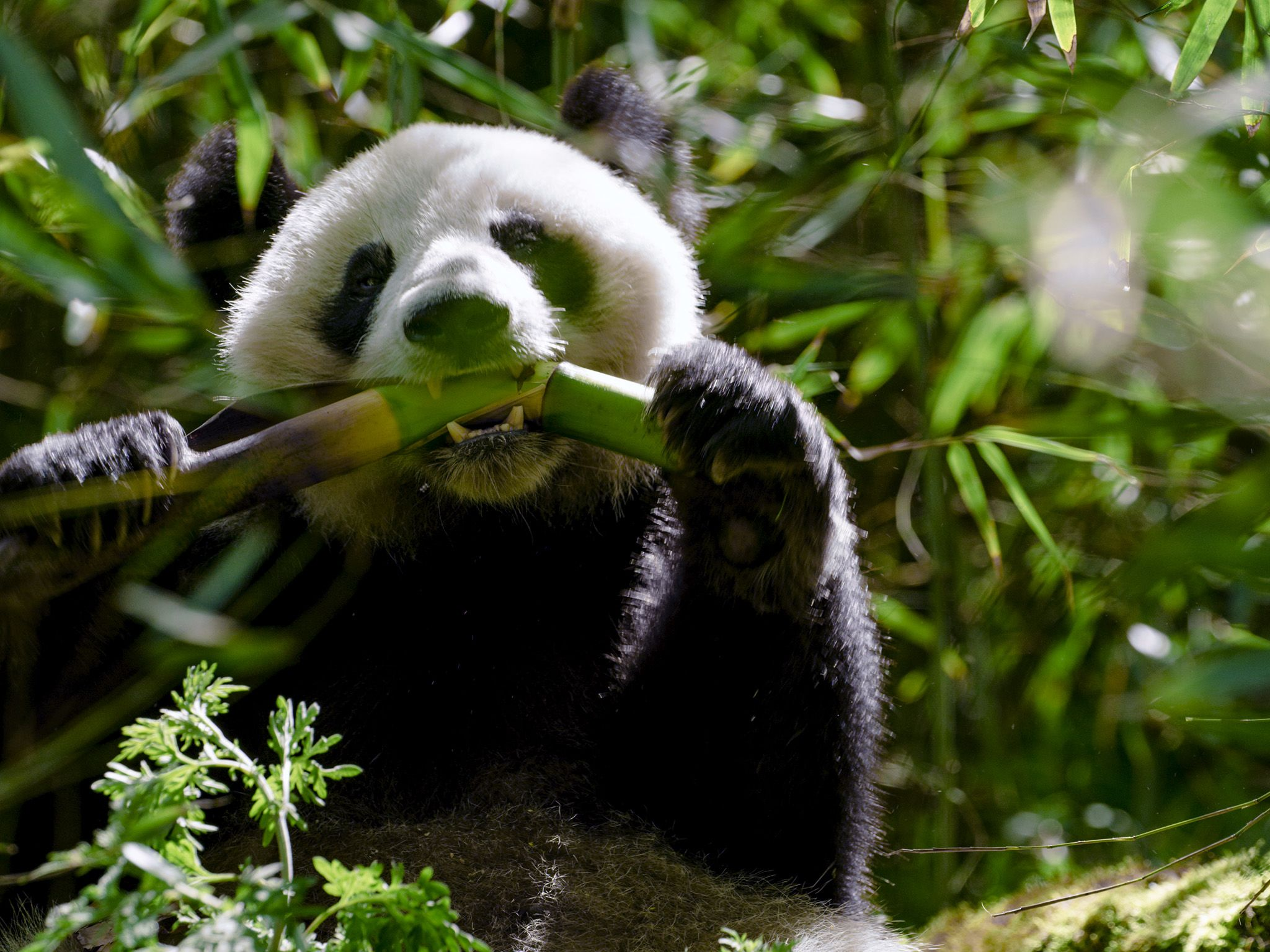 Wolong, Sichuan, China: Pandas playing in the bamboo forest. This image is from The Hidden... [Photo of the day - اکتوبر 2019]