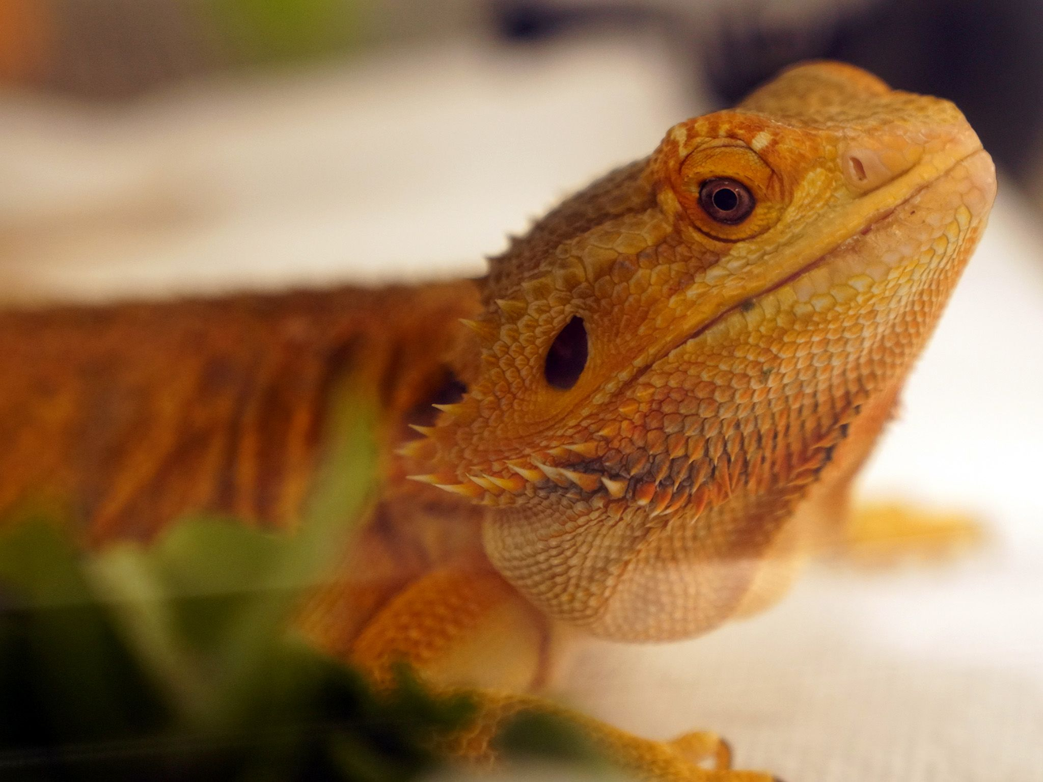 Charles the bearded dragon after her surgery. This image is from Dr. T Lone Star Vet. [Photo of the day - October 2019]