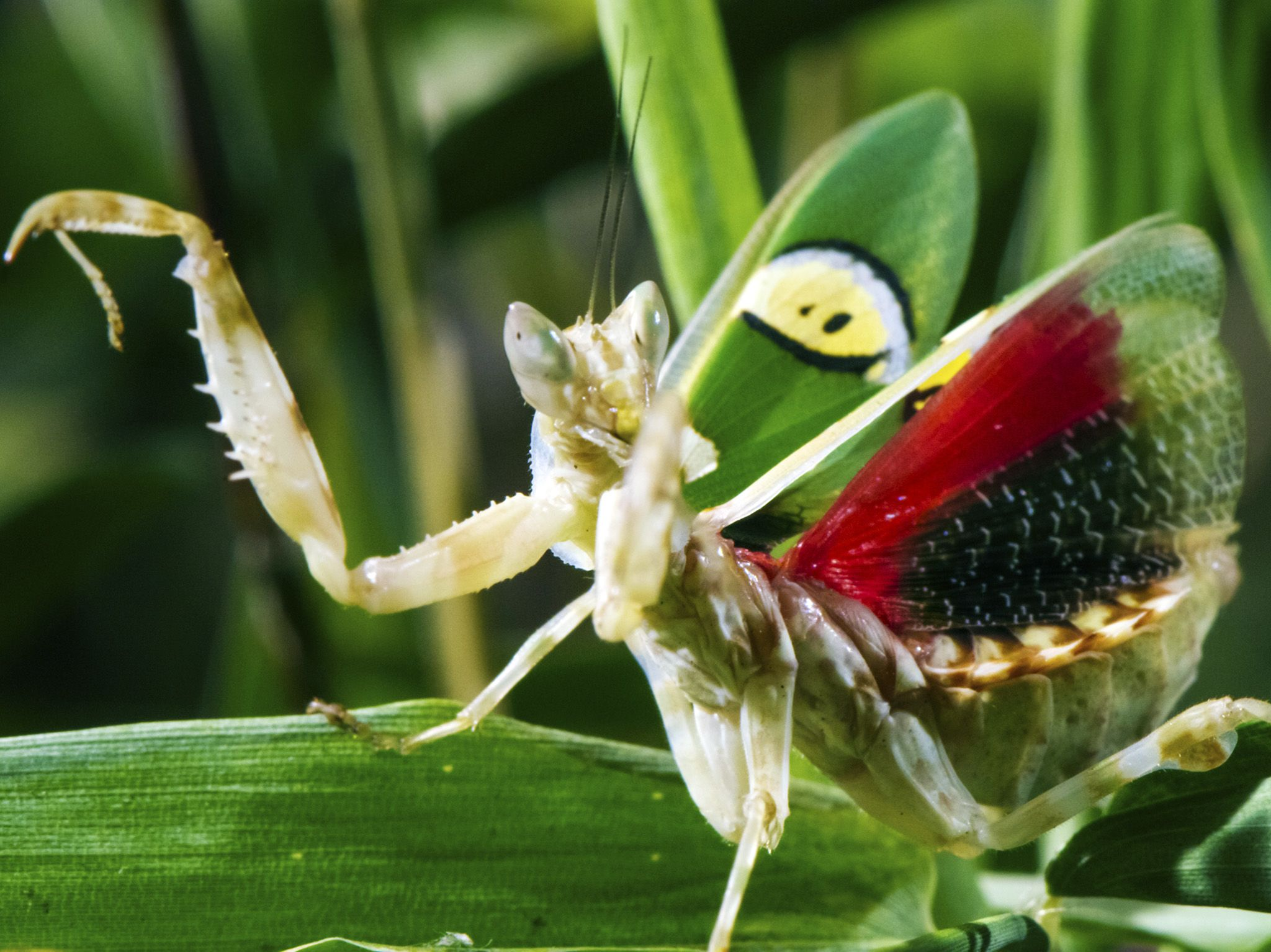 Studio, Somerset, UK:  Jewelled Flower Mantis showing dramatic display to scare off predators.... [Photo of the day - October 2019]