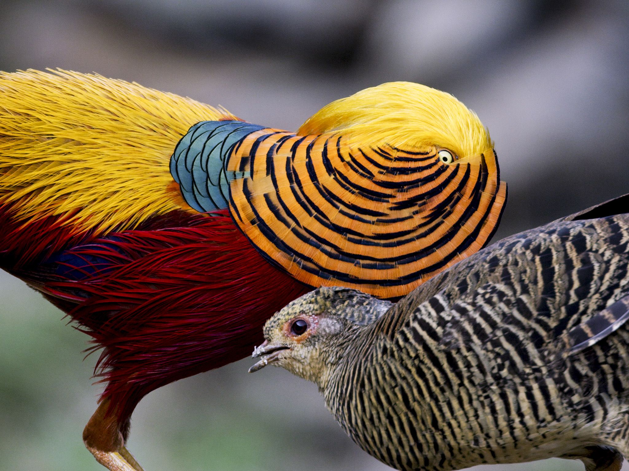 Yangxian County, Shaanxi Province, China: Male and female Golden Pheasants. Male showing feather... [Photo of the day - اکتوبر 2019]