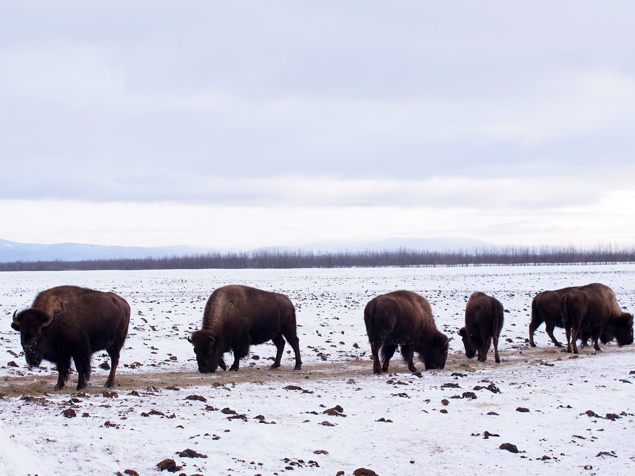 Delta Junction, AK: Bison graze in the snowy field at Stevens Ranch. This image is from Dr.... [Photo of the day - October 2019]