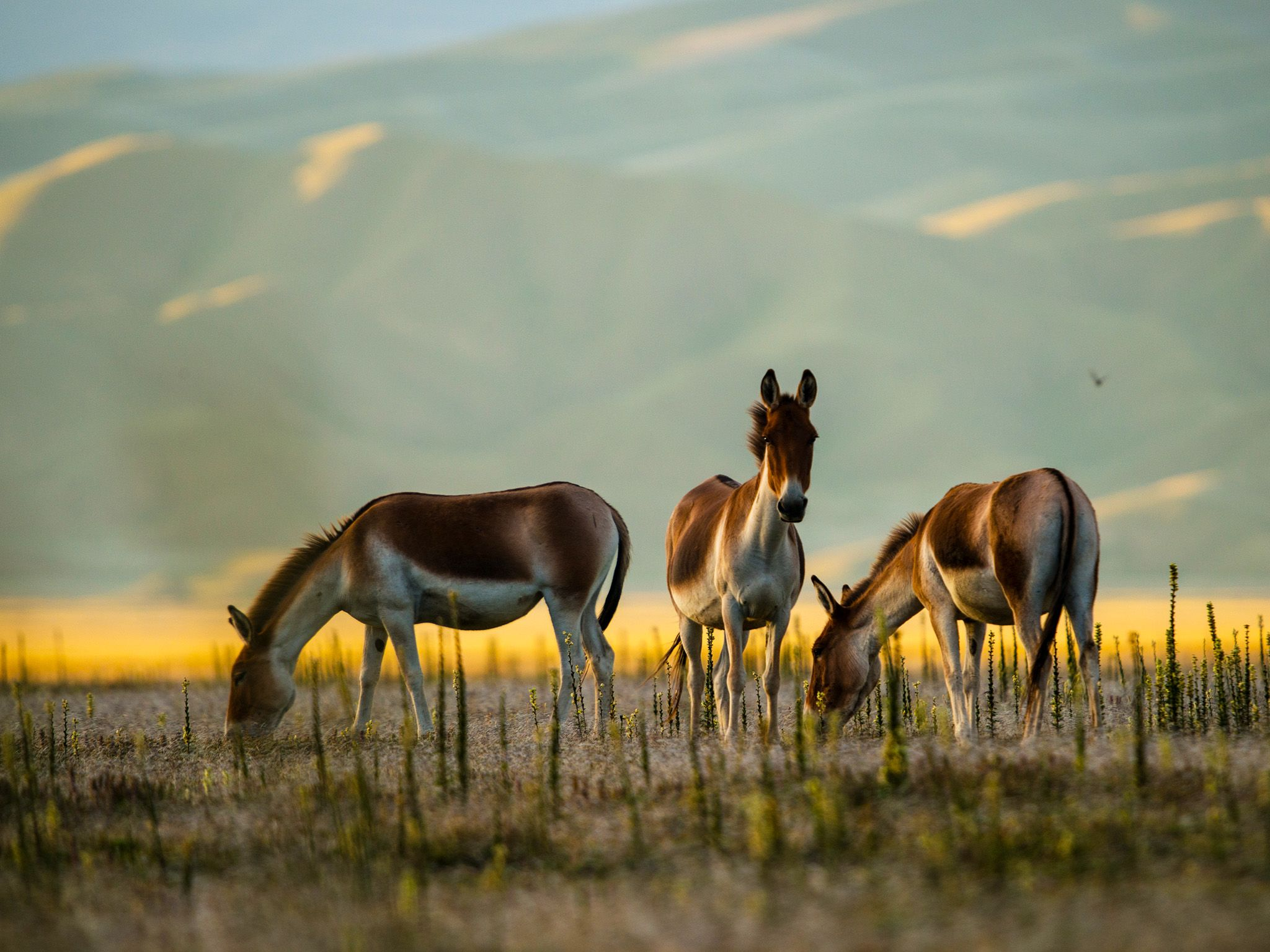 Qinghai, China: Three shot Kiang two grazing and one looking in distance.  Evening sunlight and... [Foto del giorno - October 2019]