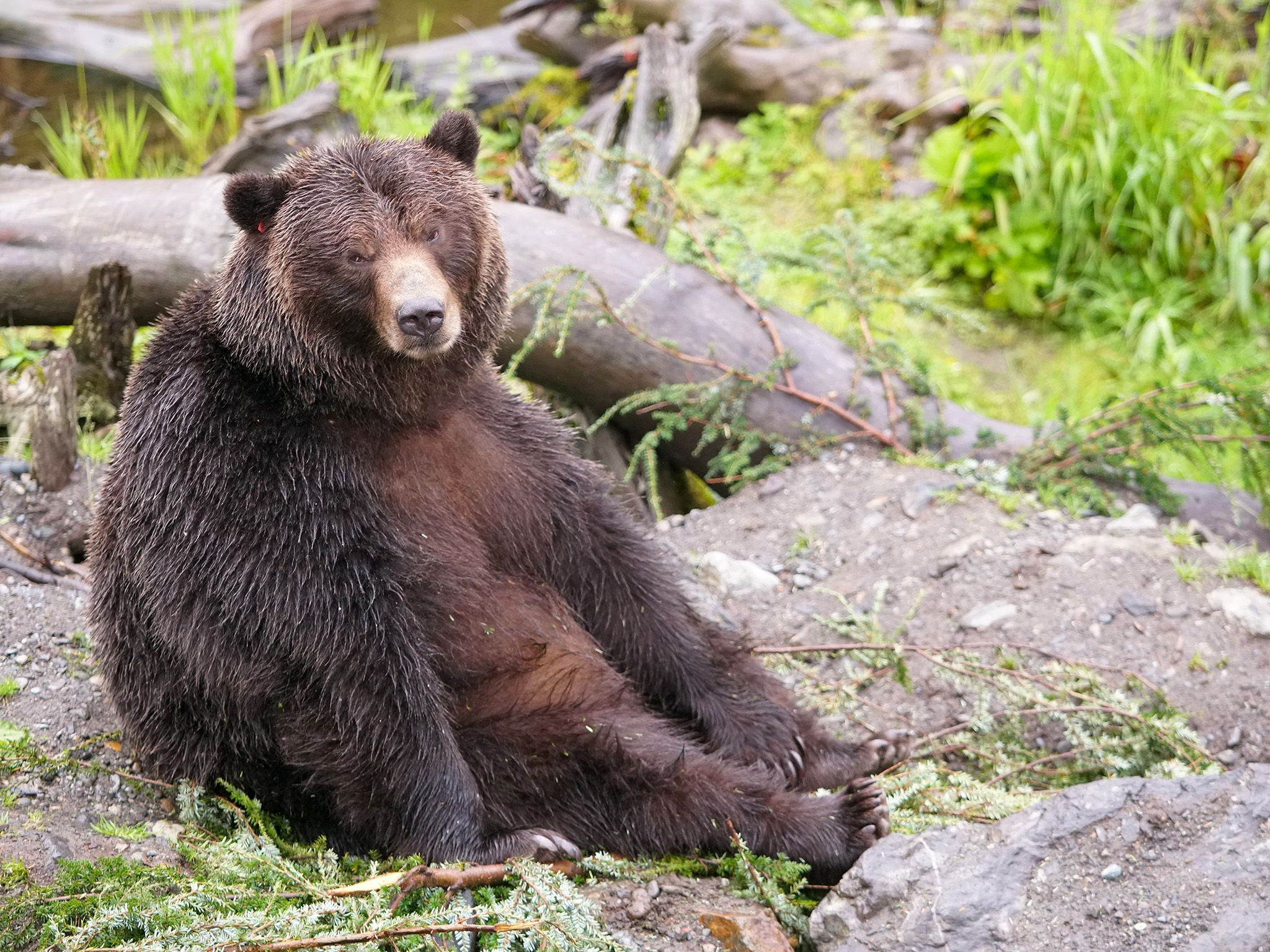This bear in Sitka, Alaska is ready for his close-up! This image is from Dr. Oakley: Yukon Vet. [Photo of the day - October 2019]