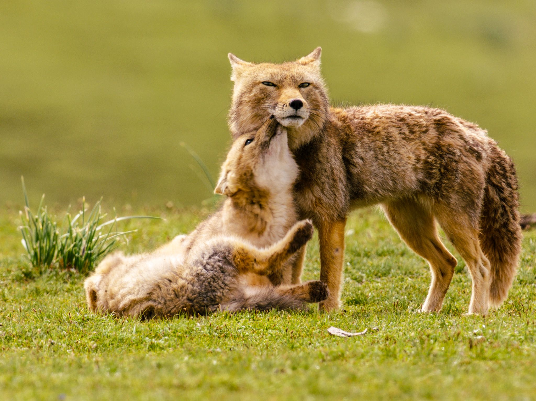 Qinghai, China: Male Tibetan fox with cubs playing. This image is from The Hidden Kingdoms of China. [Photo of the day - October 2019]