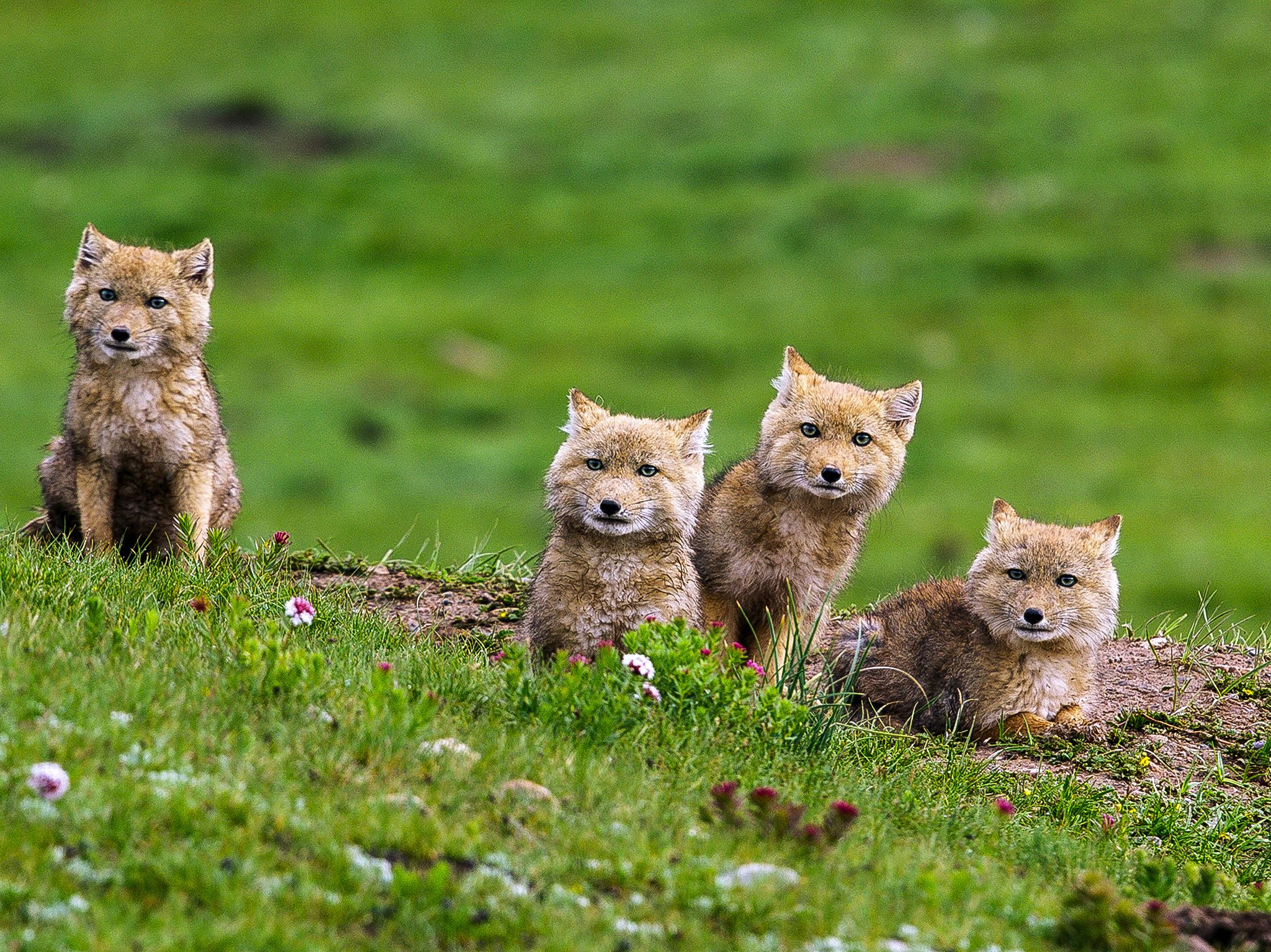 Qinghai, China: Four Tibetan fox cubs on grassland mound look forward. This image is from The... [Photo of the day - October 2019]