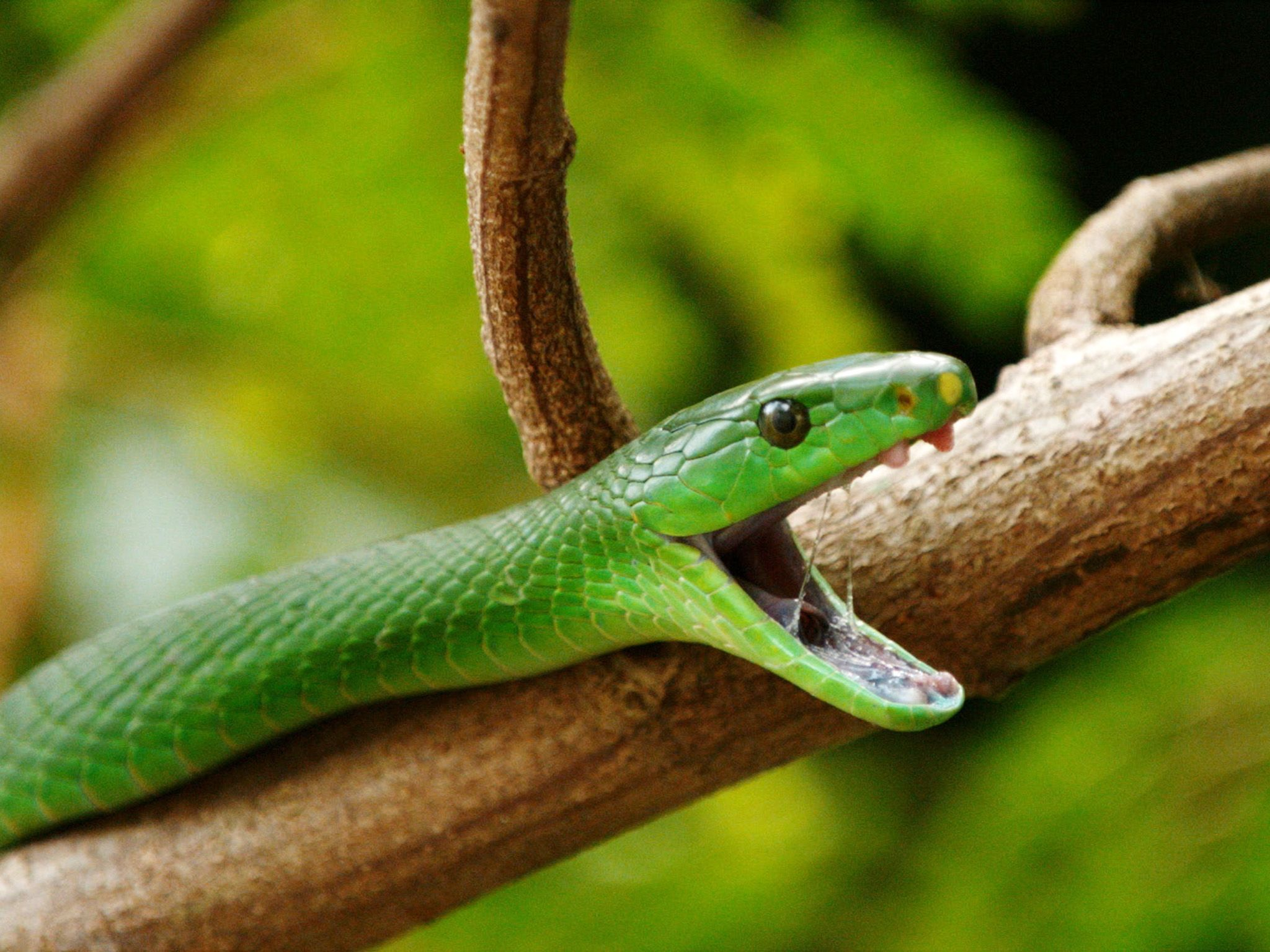 Close up shot of a green mamba (Dendroaspis angusticeps) opening its mouth in a in a... [Photo of the day - October 2019]