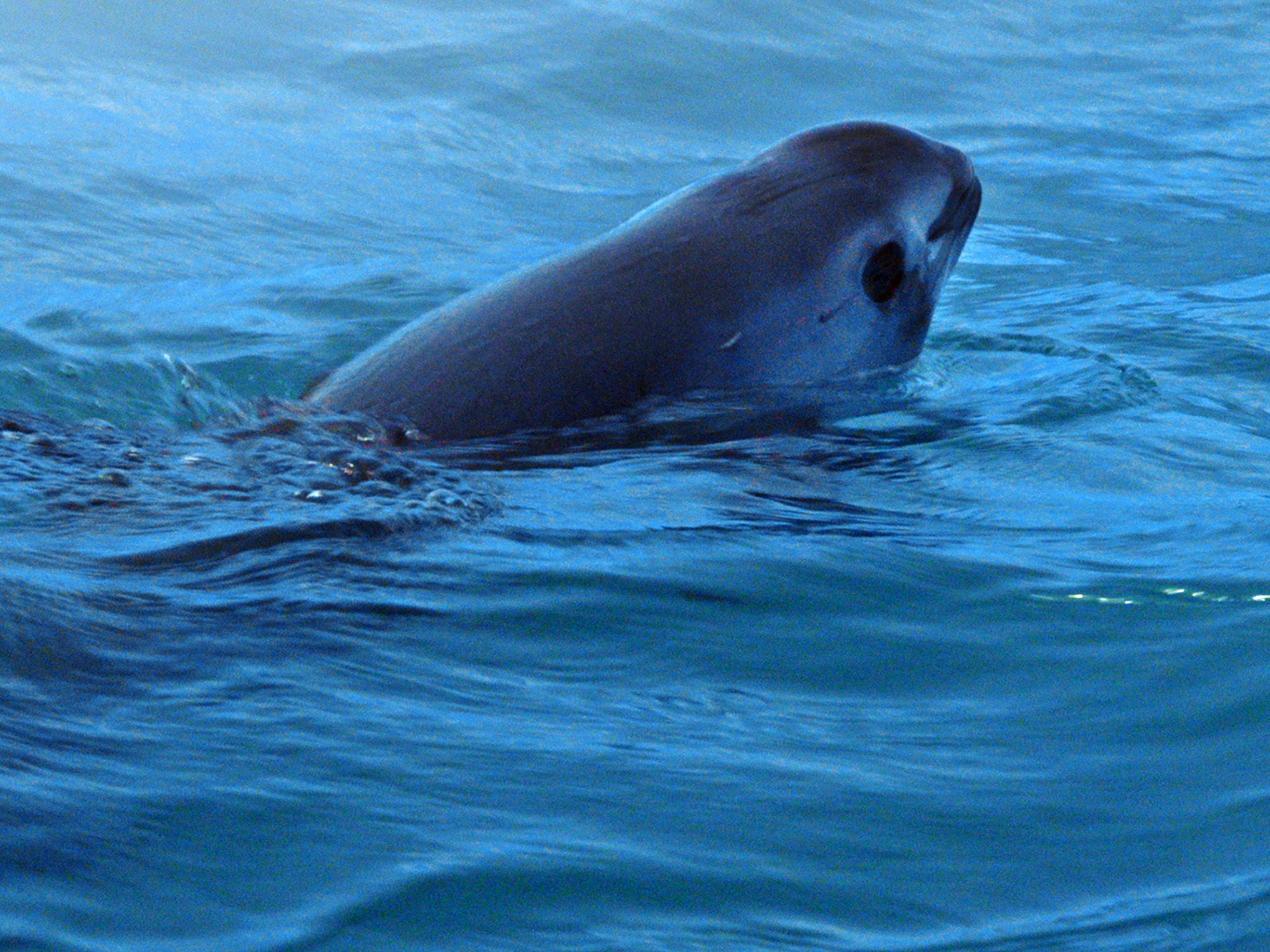 The Vaquita, smallest and most elusive whale on earth. This image is from Sea of Shadows. [Photo of the day - November 2019]