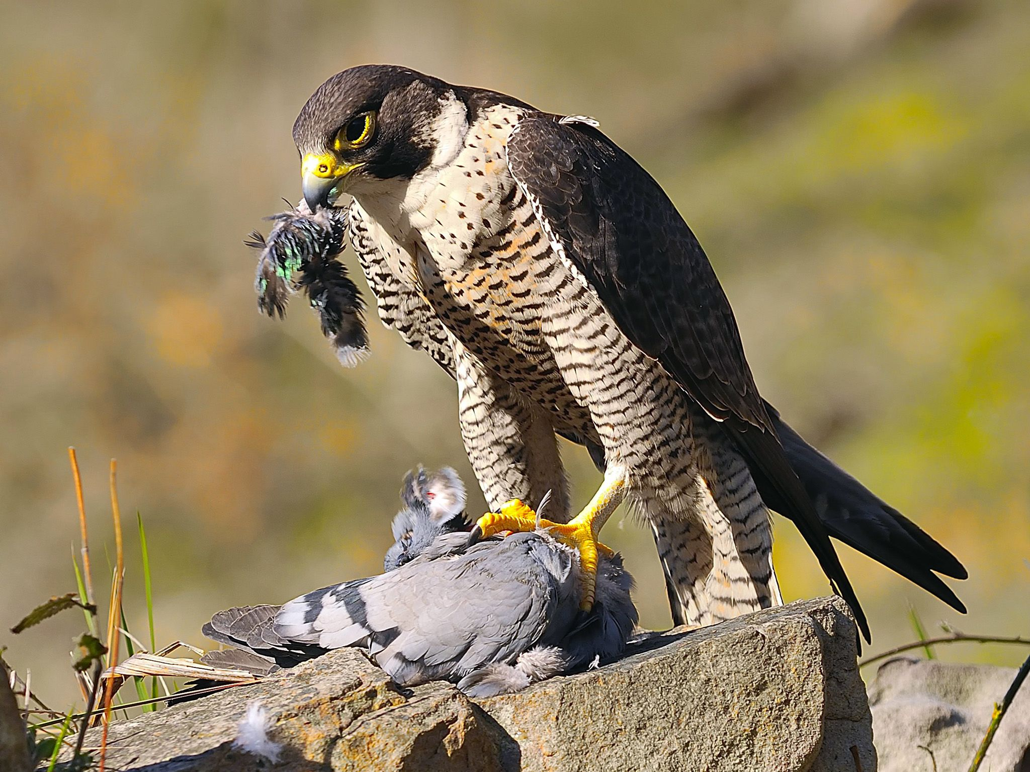 Peregrine falcons fly with speed and precision that makes taking a pigeon down mid-flight an... [Photo of the day - December 2019]