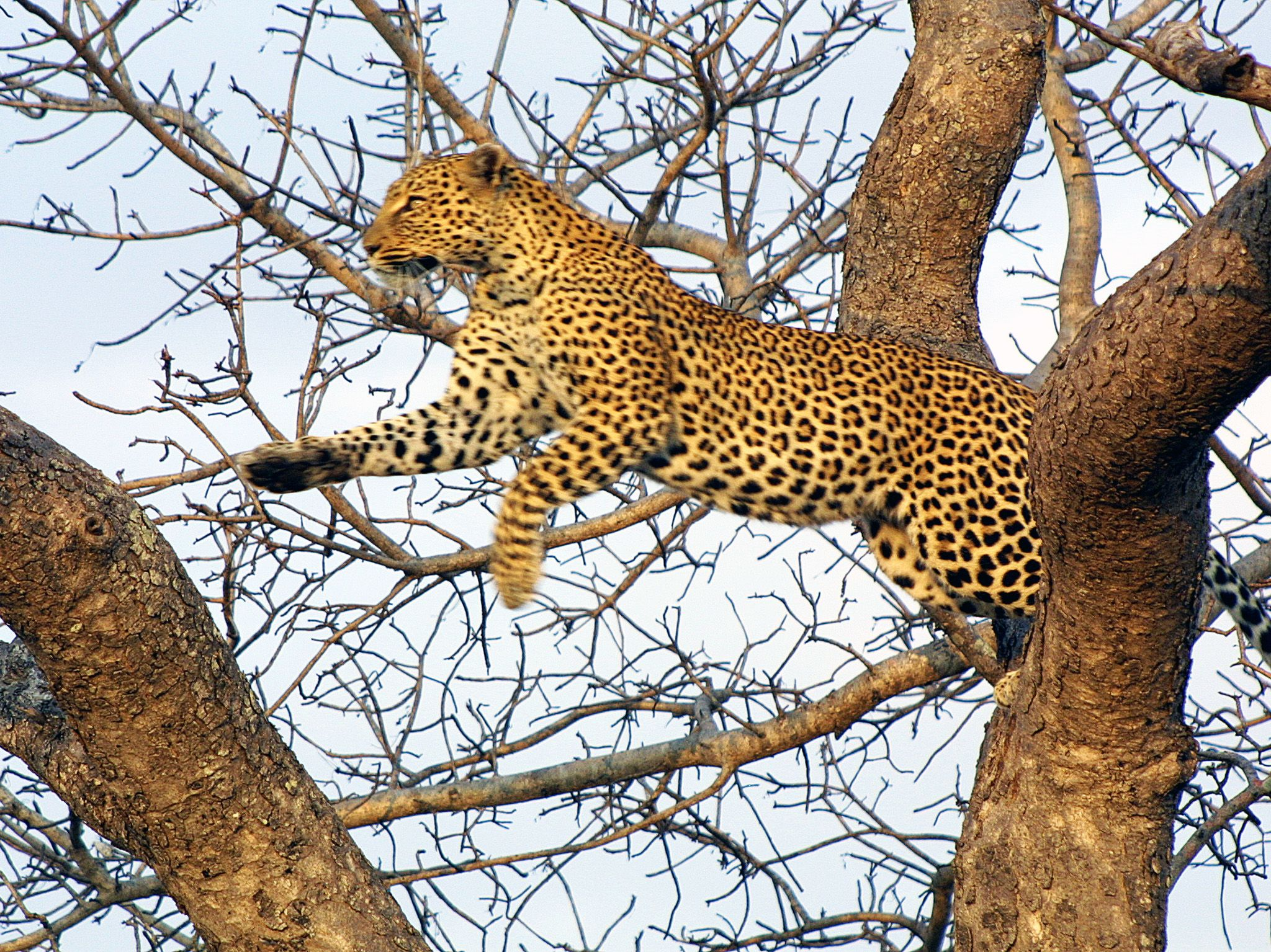 This leopard used tree-climbing abilities to its advantage, leaping down to surprise his kill... [Photo of the day - December 2019]