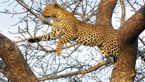 This leopard used tree-climbing... [Photo of the day -  6 دسامبر 2019]