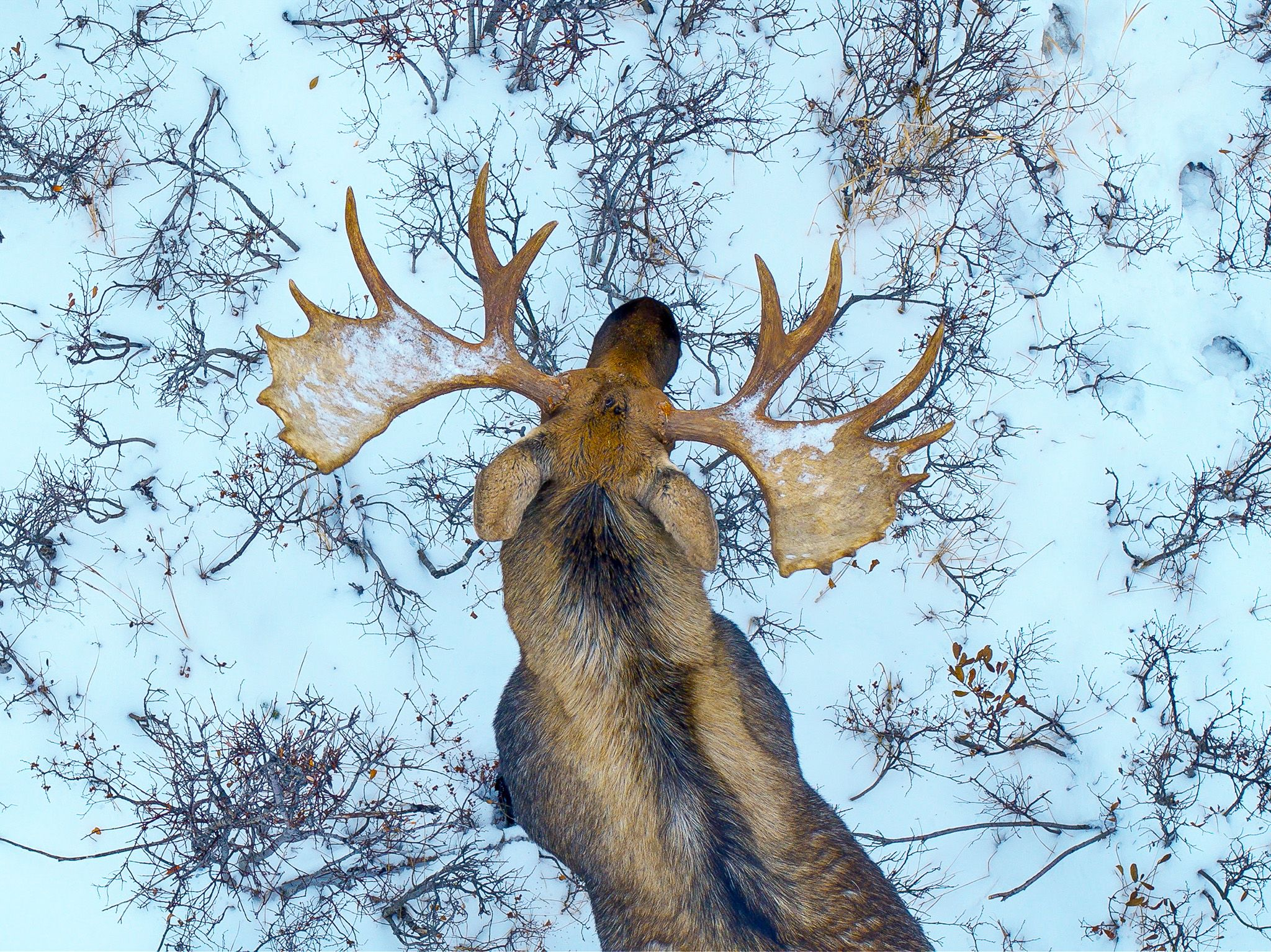 A moose seen from overhead as it walks through the snow. In Wild_Life: The Big Freeze, filmmaker... [Photo of the day - December 2019]