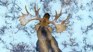A moose seen from overhead as it... [Photo of the day -  7 DECEMBER 2019]