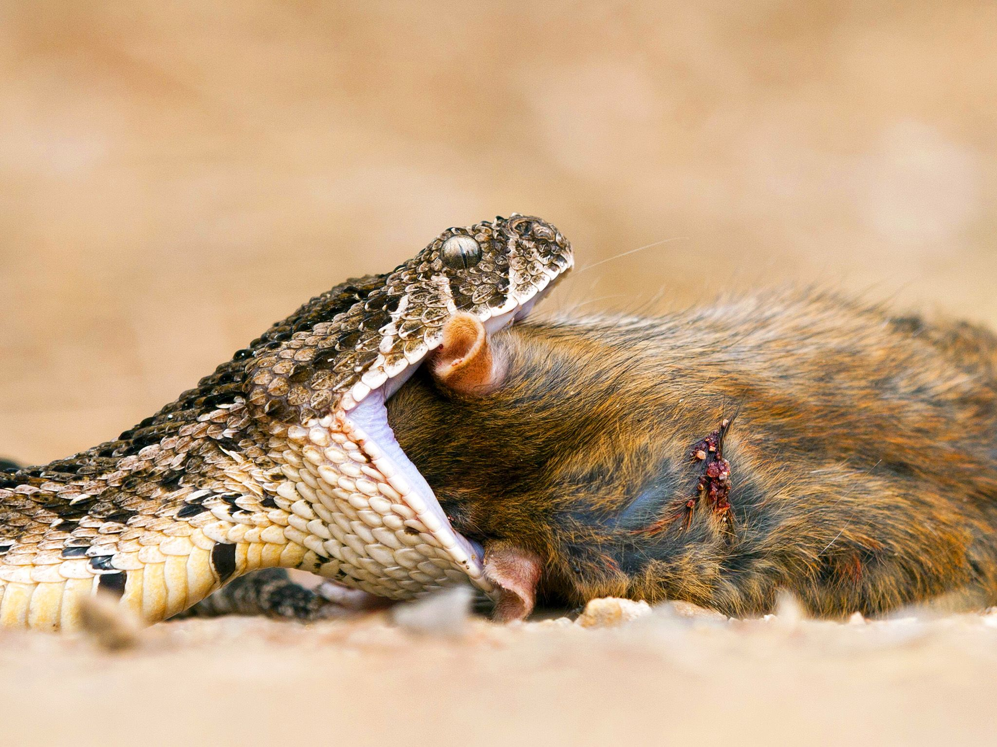 A puff adder digs in. This ambush predator swiftly injects its prey with up to 350 milligrams of... [Photo of the day - December 2019]