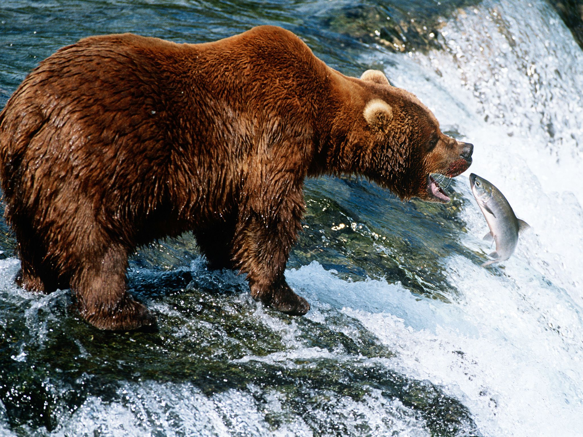 USA, Alaska, Katmai National Park, Brown Bear catching Salmon in river, side view. This image is... [Photo of the day - December 2019]