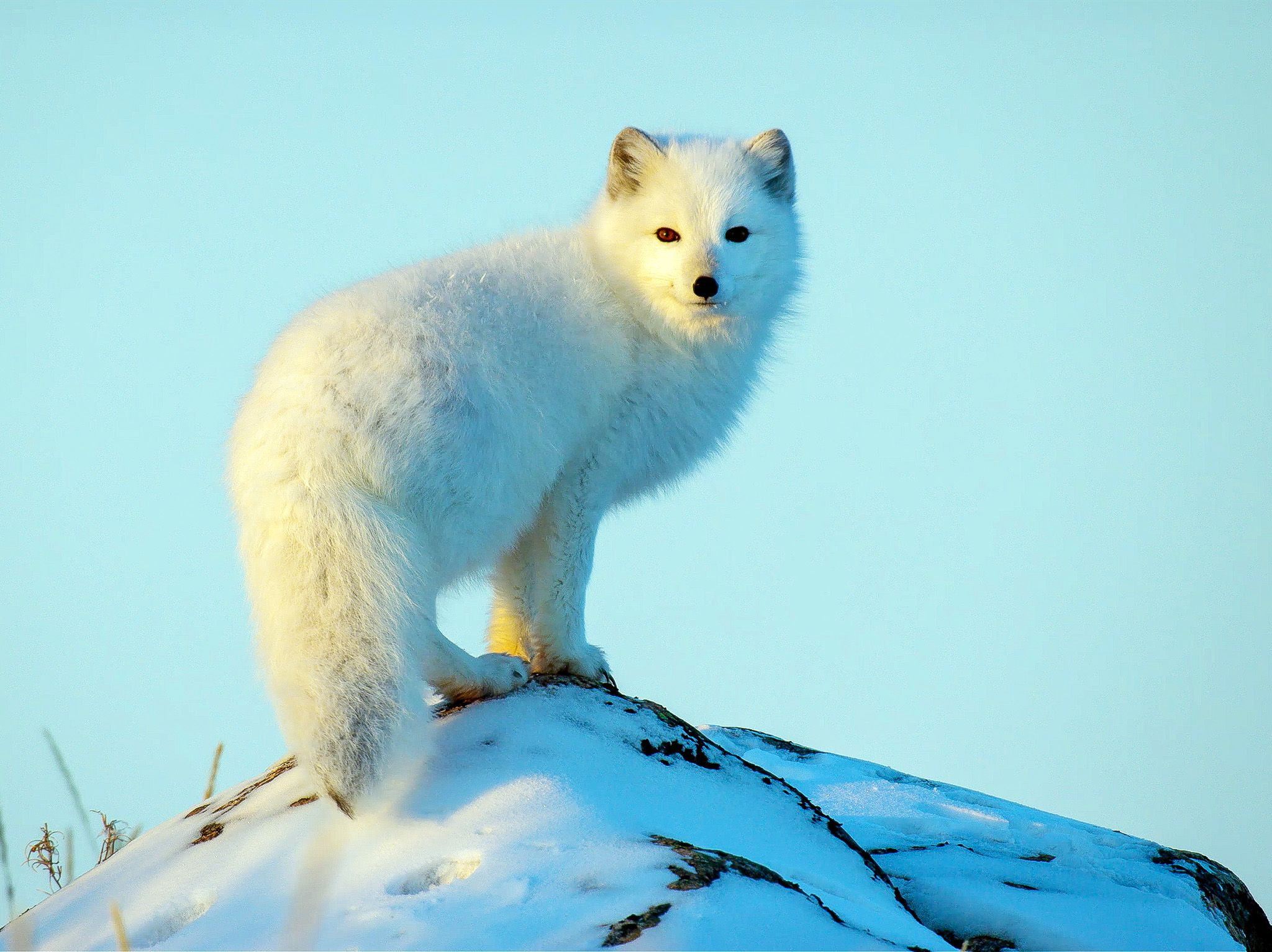 A fox pauses in the arctic. In Wild_Life: The Big Freeze, filmmaker Bertie Gregory travels to... [Photo of the day - December 2019]