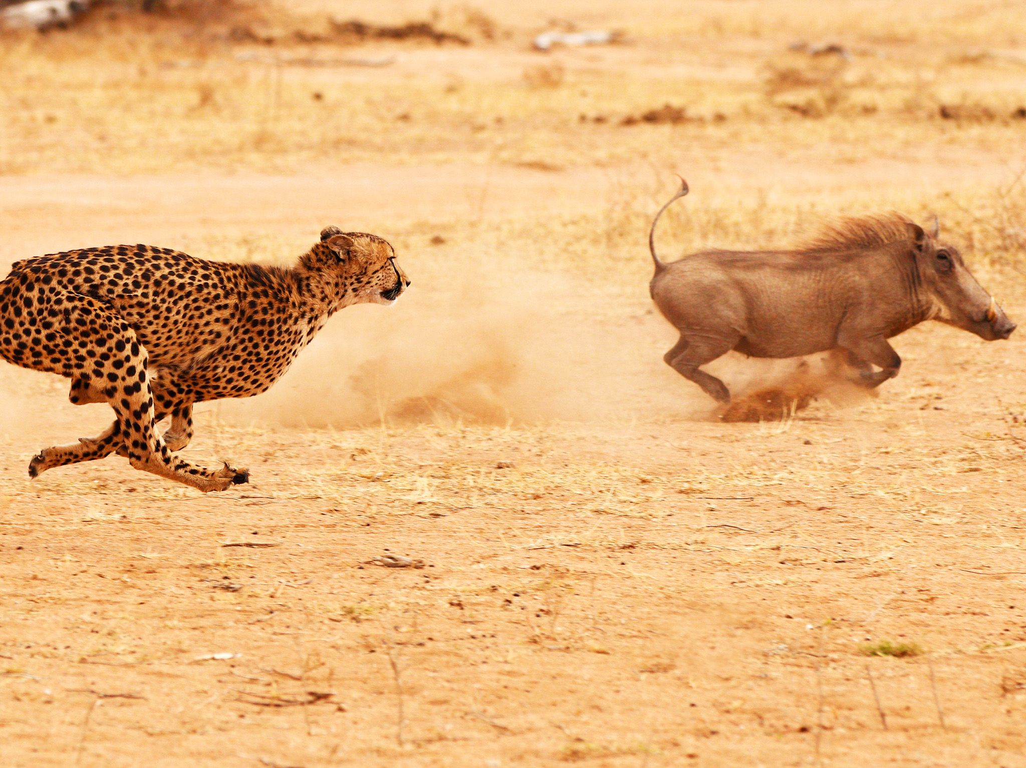Cheetah chasing a warthog at top speed. This image is from World's Deadliest Lion. [Photo of the day - December 2019]