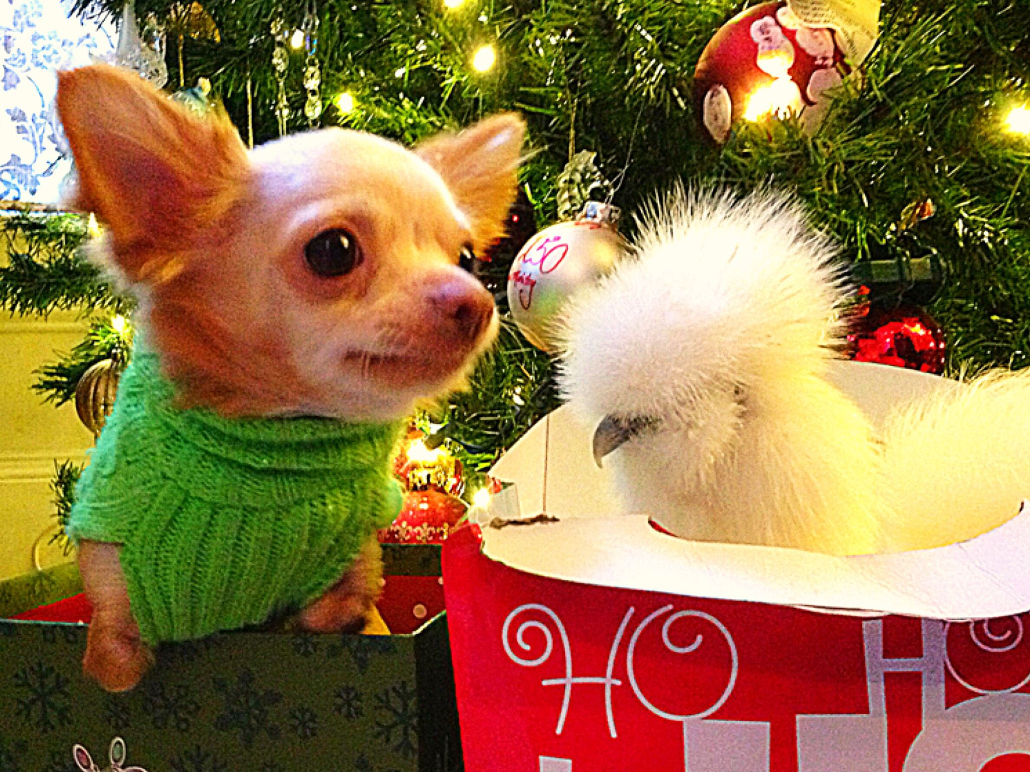 Two-legged chihuahua Roo and his best buddy Penny, a silkie chicken celebrate the holiday —... [Photo of the day - December 2019]