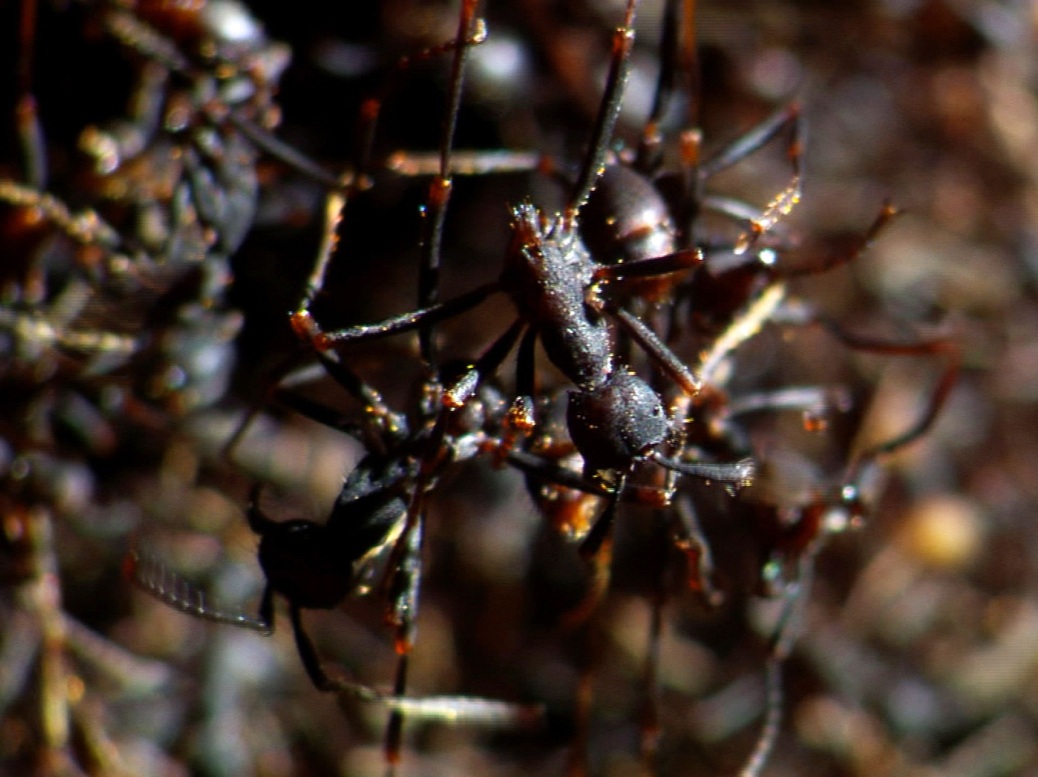 Costa Rica: The colonies of Eciton burchelli, an army ant, range in size from 300,000 to... [Photo of the day - December 2019]