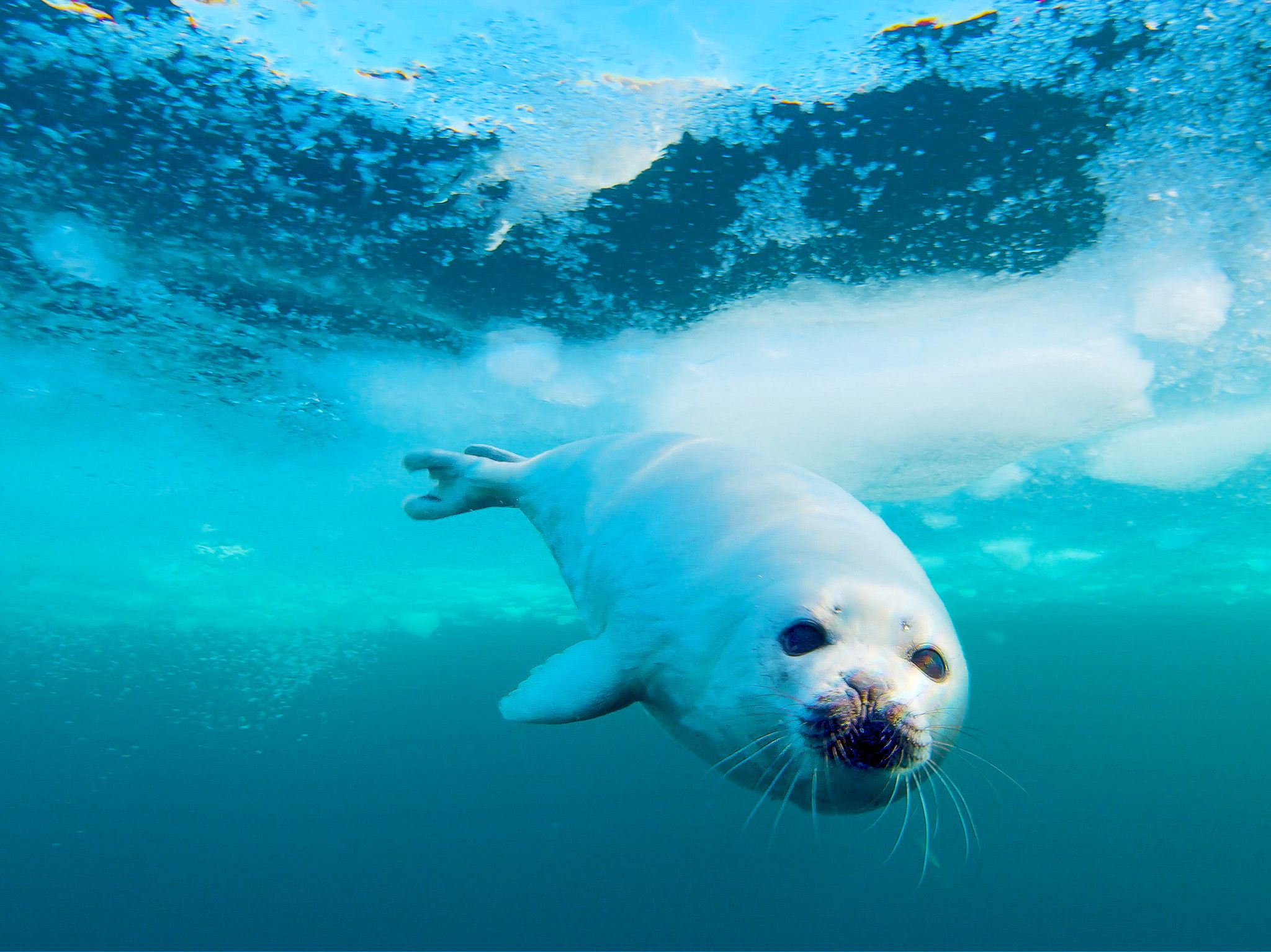 A seal dives under the ice. In Wild_Life: The Big Freeze, filmmaker Bertie Gregory travels to... [Photo of the day - December 2019]