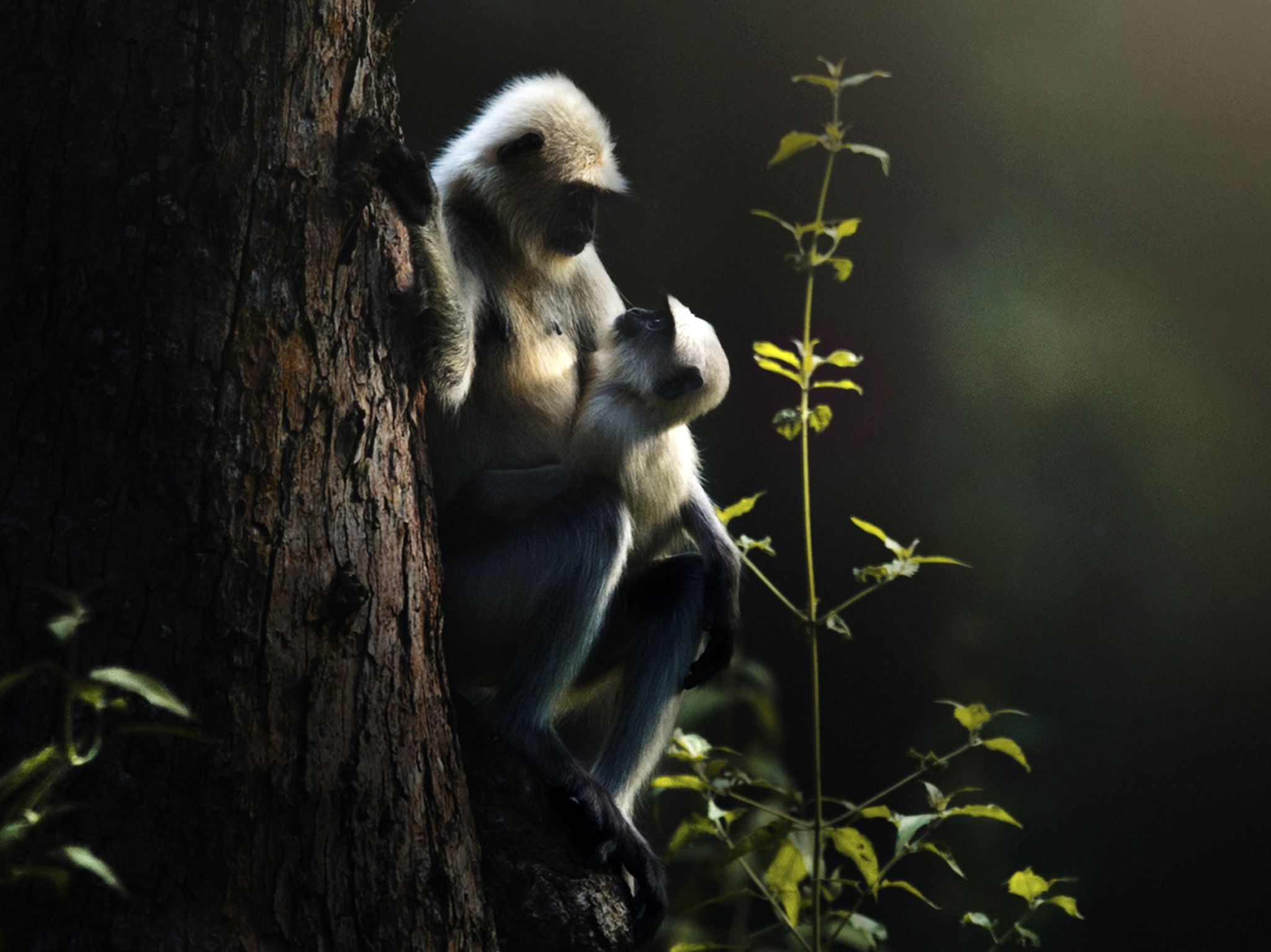 A female langur sits on a tree notch holding her baby.   This image is from The Real Black Panther. [Photo of the day - January 2020]