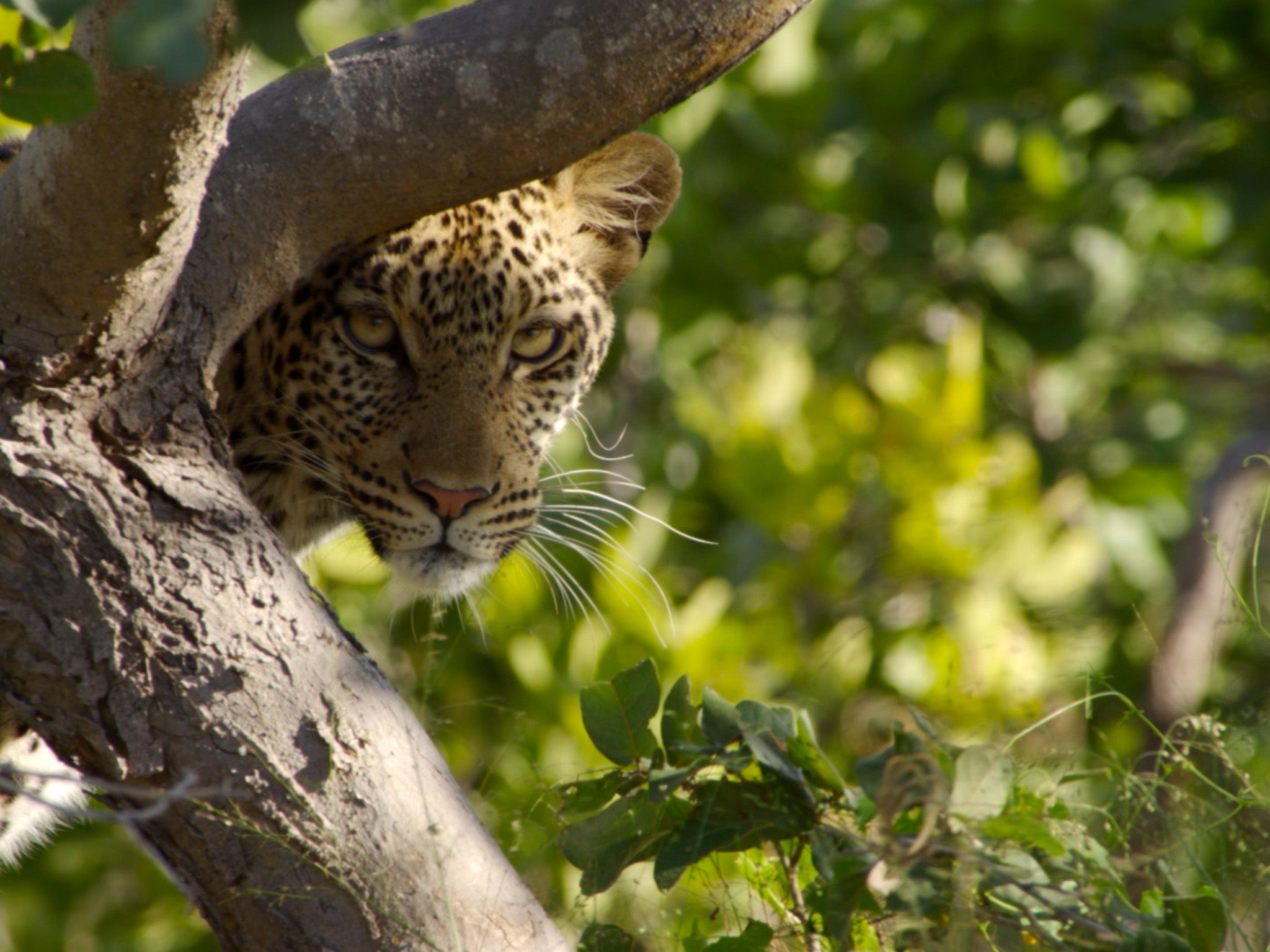 Botswana:  Leopard in a tree. This image is from Africa's Deadliest. [Photo of the day - January 2020]