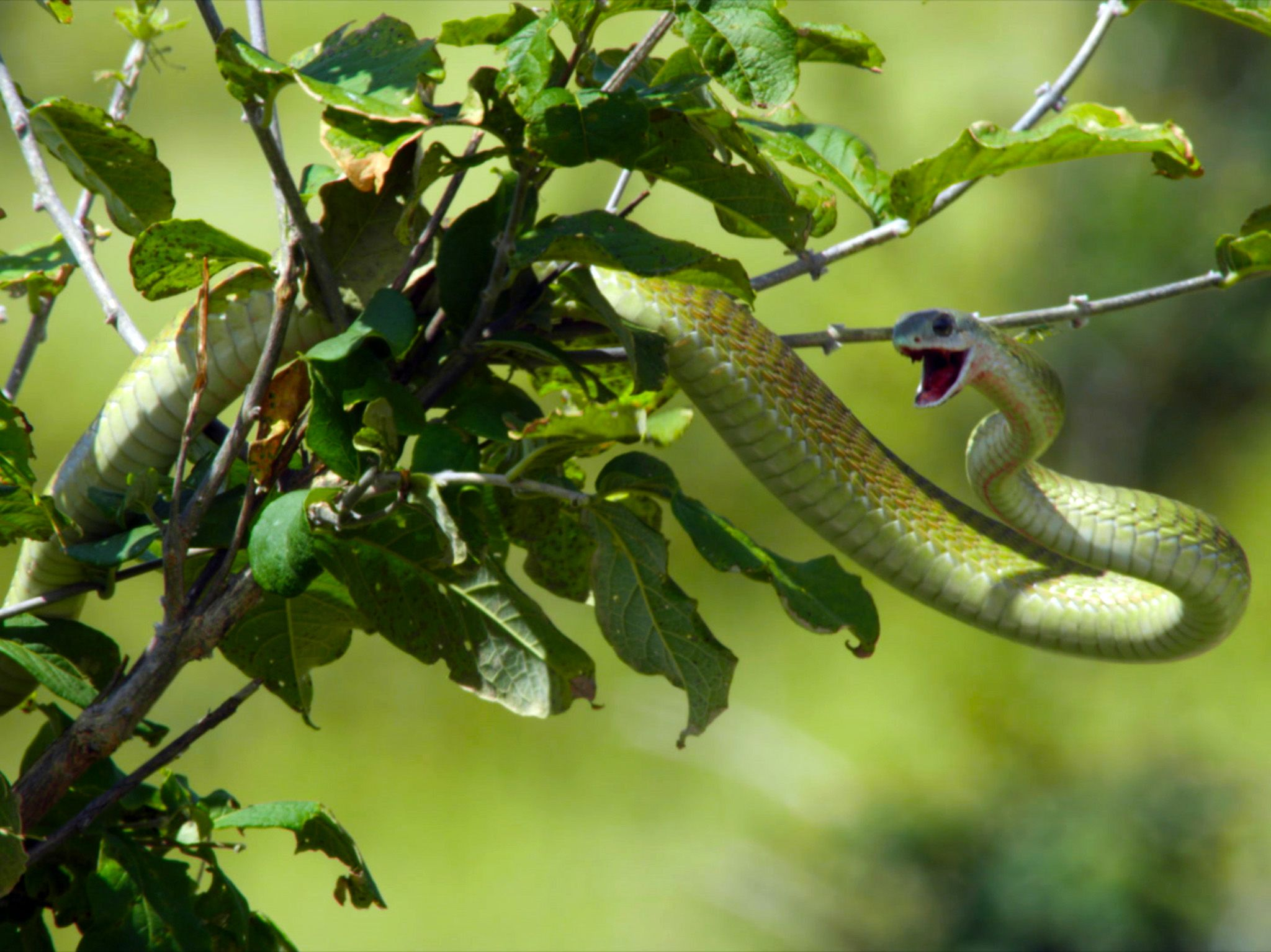 Botswana:  Little snake poised in tree.  This image is from Africa's Deadliest. [Photo of the day - January 2020]