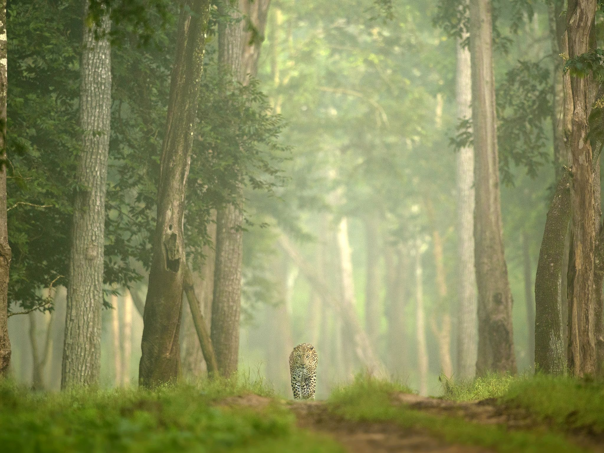 A male leopard walks down a dirt road through the dense forest.  This image is from The Real... [Photo of the day - January 2020]