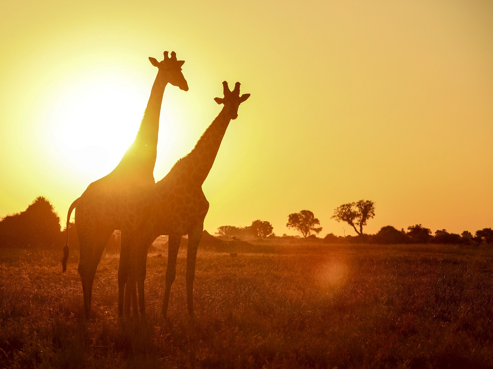 Moremi Game Reserve, Botswana:  Two giraffe stand side by side at sunset.  This image is from... [Photo of the day - January 2020]