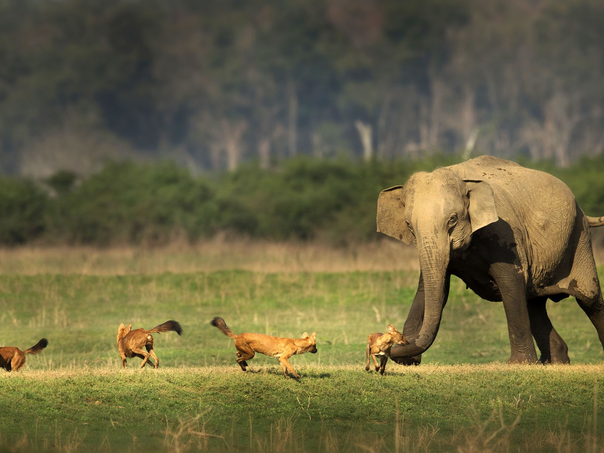 Three dholes are chased off by an elephant in a grassy clearing.  This image is from The Real... [Photo of the day - January 2020]