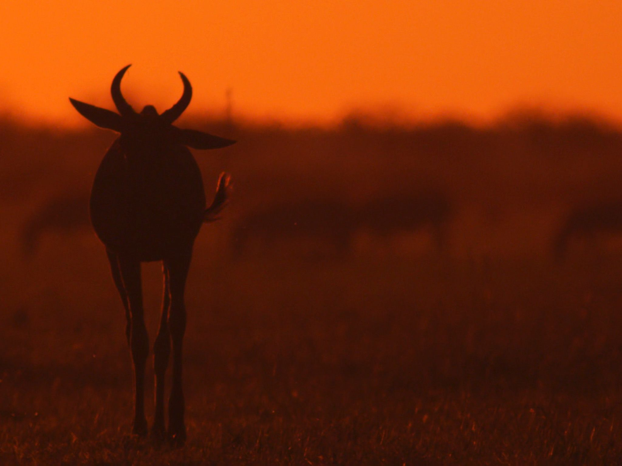 Botswana:  Sunset Wildebeest.  This image is from Africa's Deadliest. [Photo of the day - January 2020]