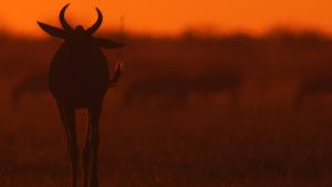 Botswana:  Sunset Wildebeest.  This... [Photo of the day - 17 JANUARY 2020]