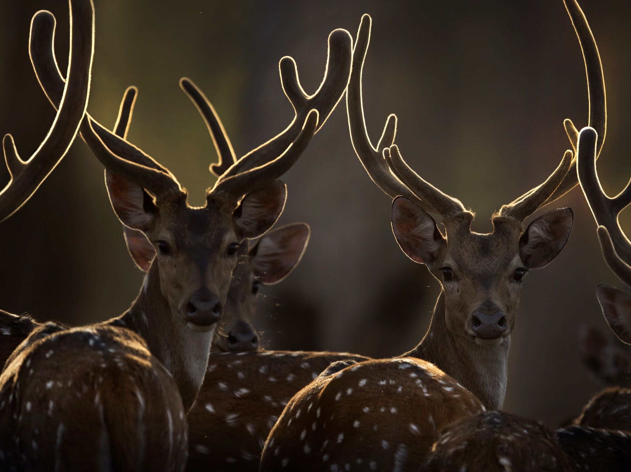 A group of chital deer in the sun.  This image is from The Real Black Panther. [Photo of the day - January 2020]
