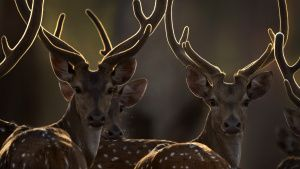 A group of chital deer in the sun. ... [Photo of the day - 19 JANUARY 2020]