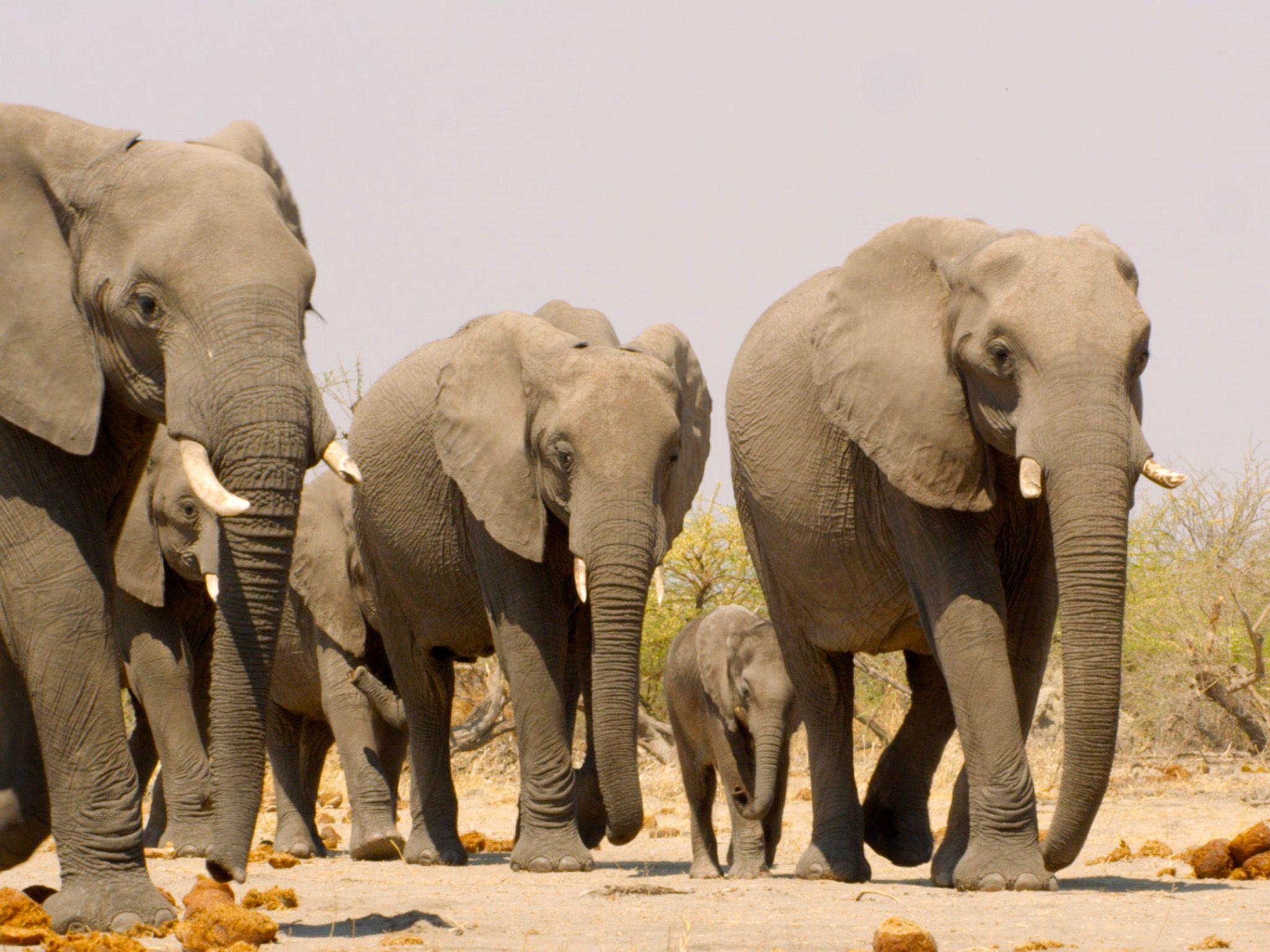 Botswana:  Elephant herd.  This image is from Africa's Deadliest. [Photo of the day - January 2020]