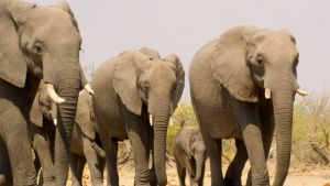 Botswana:  Elephant herd.  This... [Photo of the day - 23 JANUARY 2020]