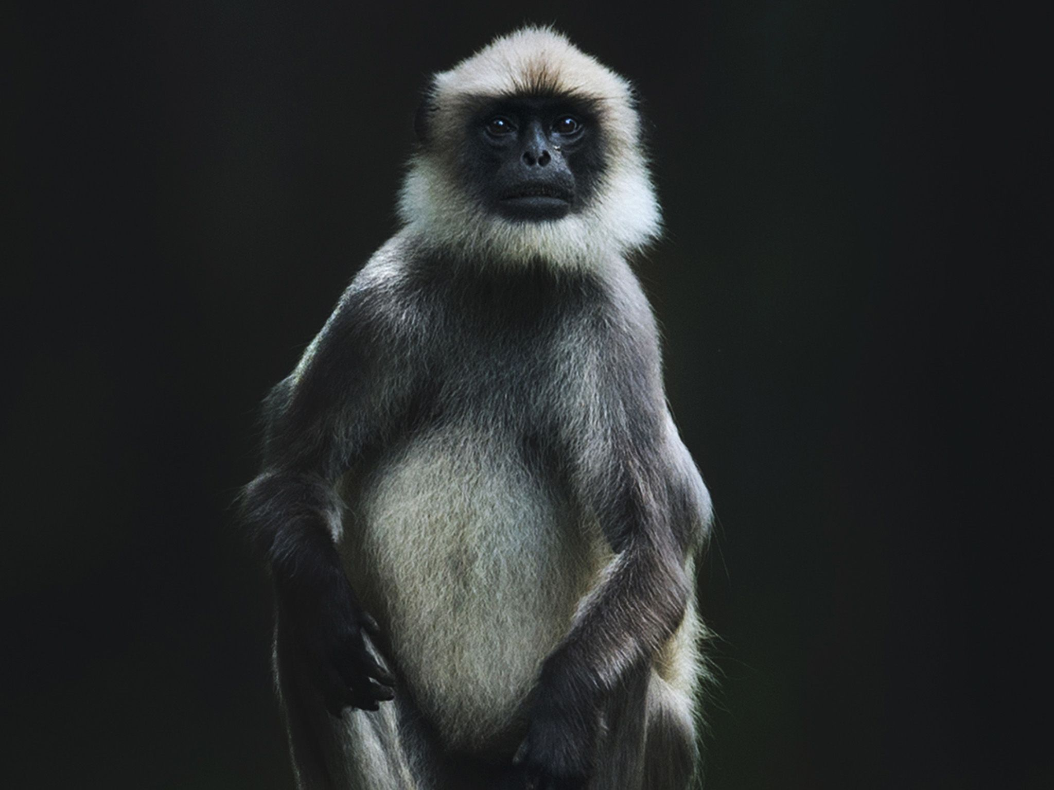 A Langur monkey sits atop a dead tree trunk.  This image is from The Real Black Panther. [Photo of the day - January 2020]