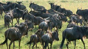 Wildebeest, Zebras, Hyenas, More photo
