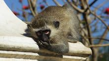 Monkeys show