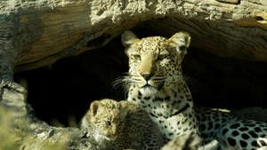 Living With Big Cats photo