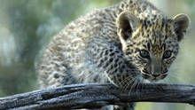 Leopards show