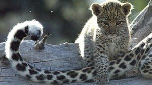 Leopards photo
