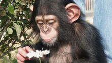Chimps show