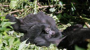 Gorilla Murders photo