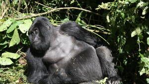 Gorilla Murders photo