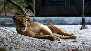 Last Lioness Gallery photo